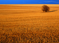 Wheat Field in Sedgwick County, Colorado