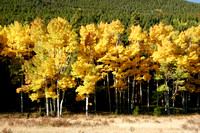Aspens in Horseshoe Park, RMNP