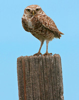 Burrowing Owl, Pawnee National Grasslands, CO