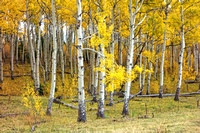 Fall Aspens, White River National Forest